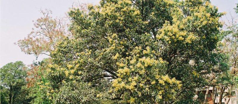 Music of the Mango Blossom!